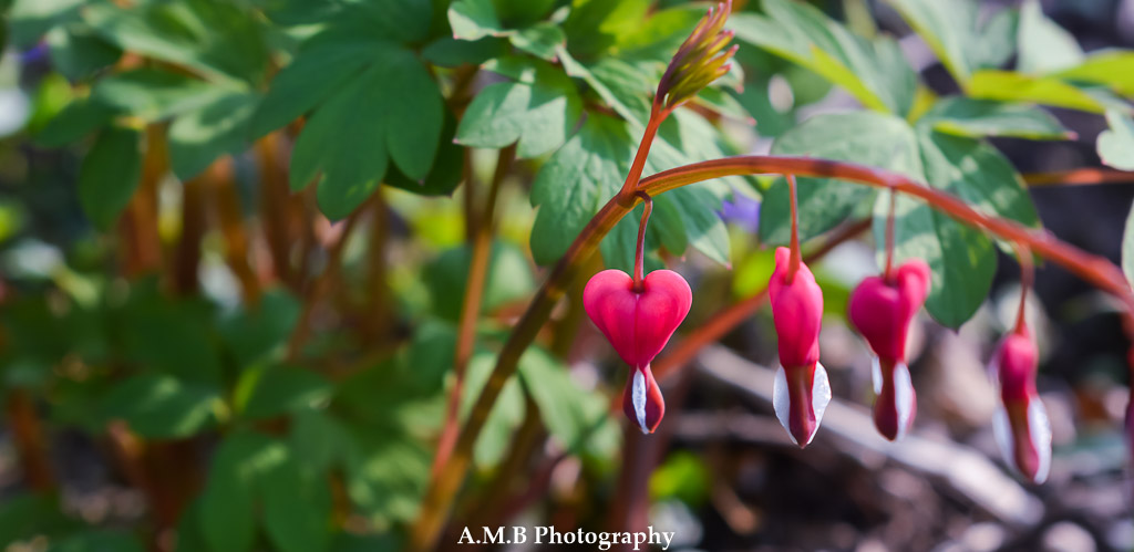 For the past several years we have been enjoying the blooms of our bleeding hearts. They are in our shade garden in Peoria, Illinois.