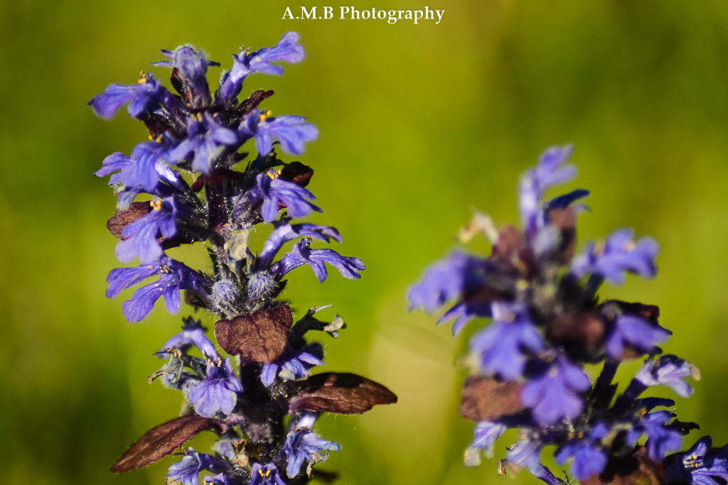 Wild growing bugleweed appears throughout my yard and home garden. I captured this with my Tamron Macro lens. Love it!