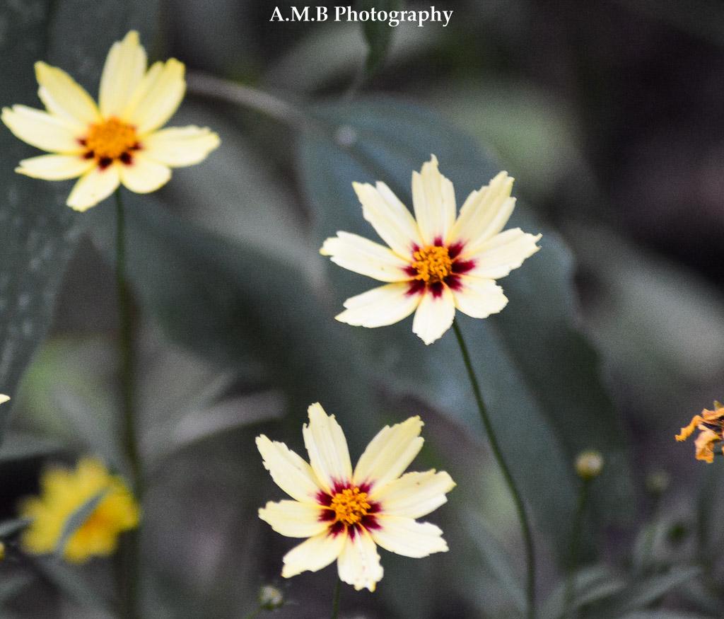 Coreopsis Blooms