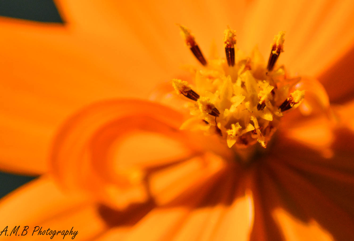 Curly Cosmos II
