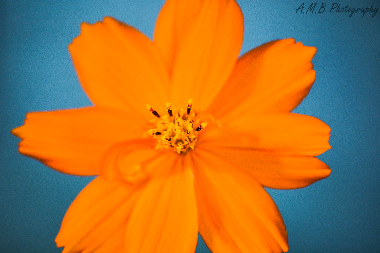 Curly Cosmos
