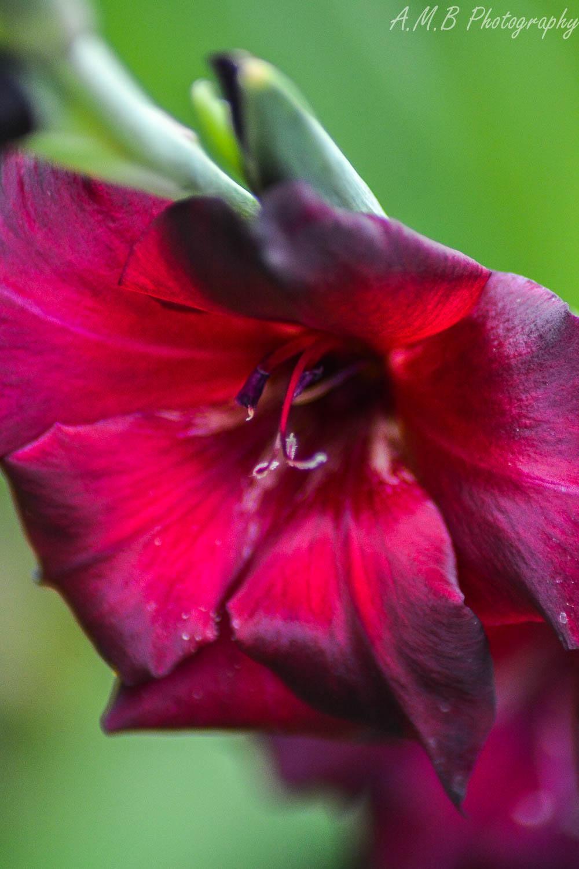 Dark Maroon Gladiolus