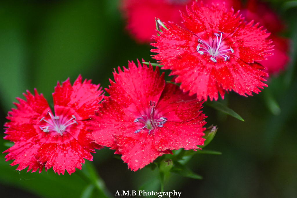 Tiny dianthus grown in a few spots around our house. We used to have more but they eventually die off. The few we have left have become quite hardy.