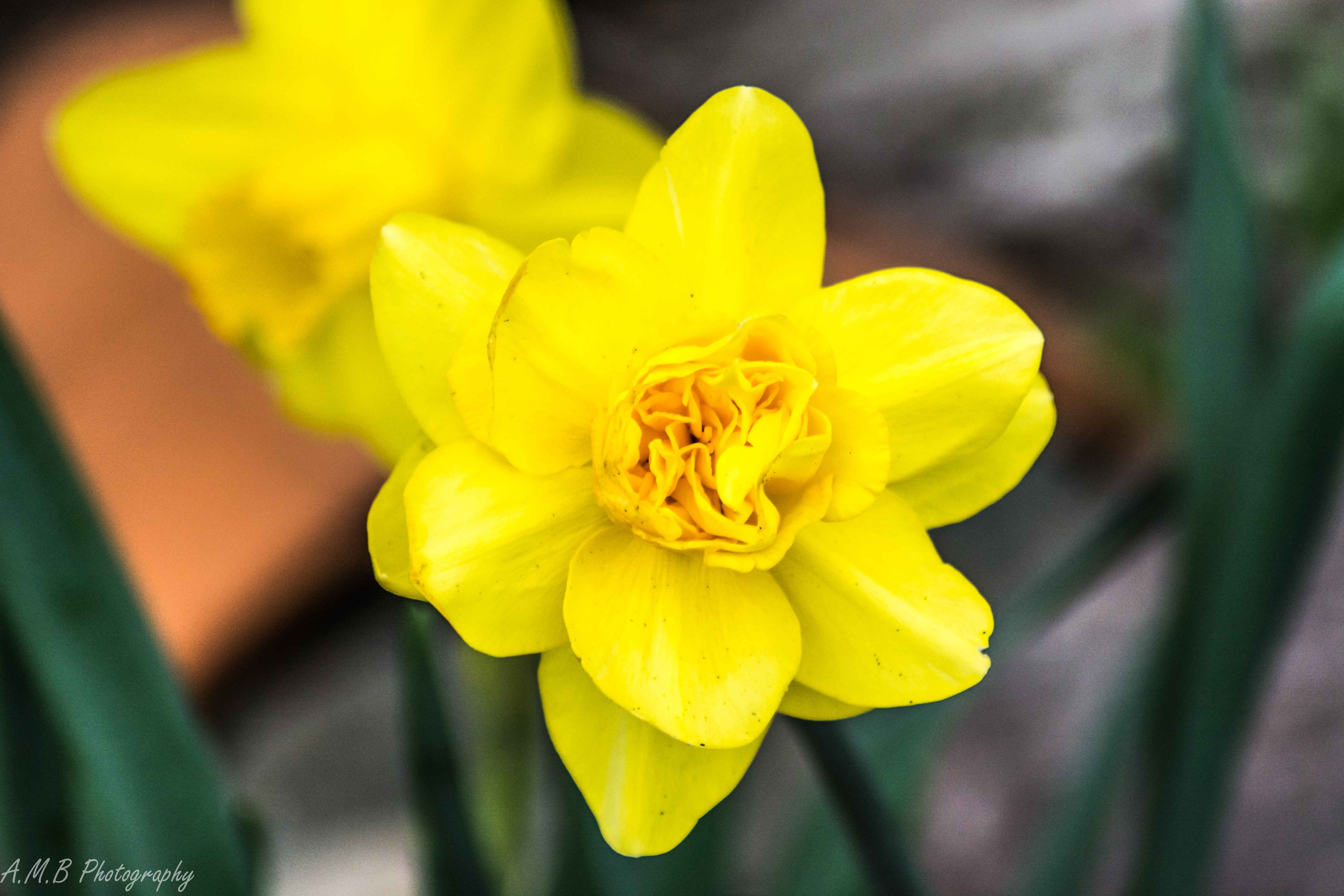 Double Blooming Daffodil IV