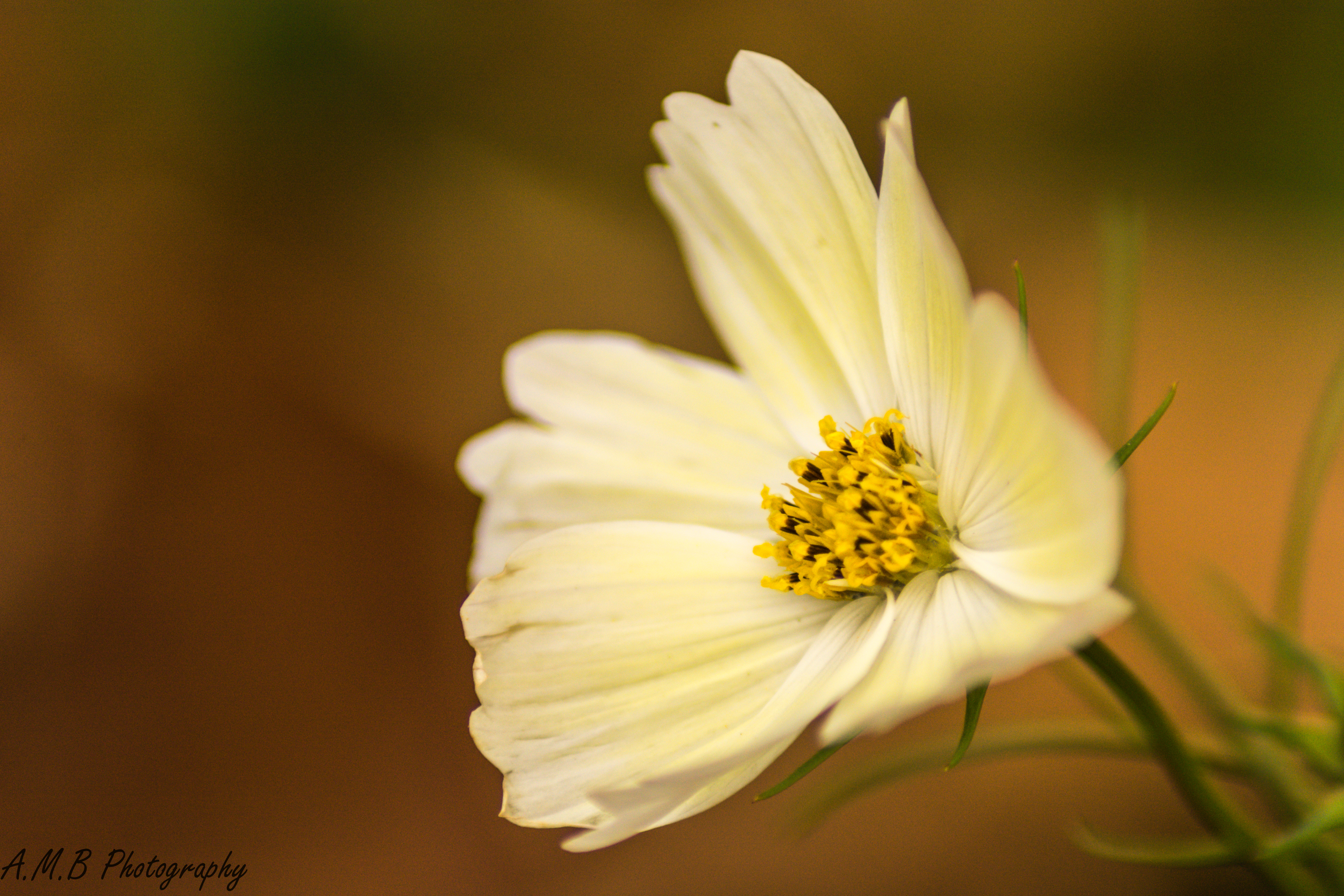Fall Cosmos Blooms IV