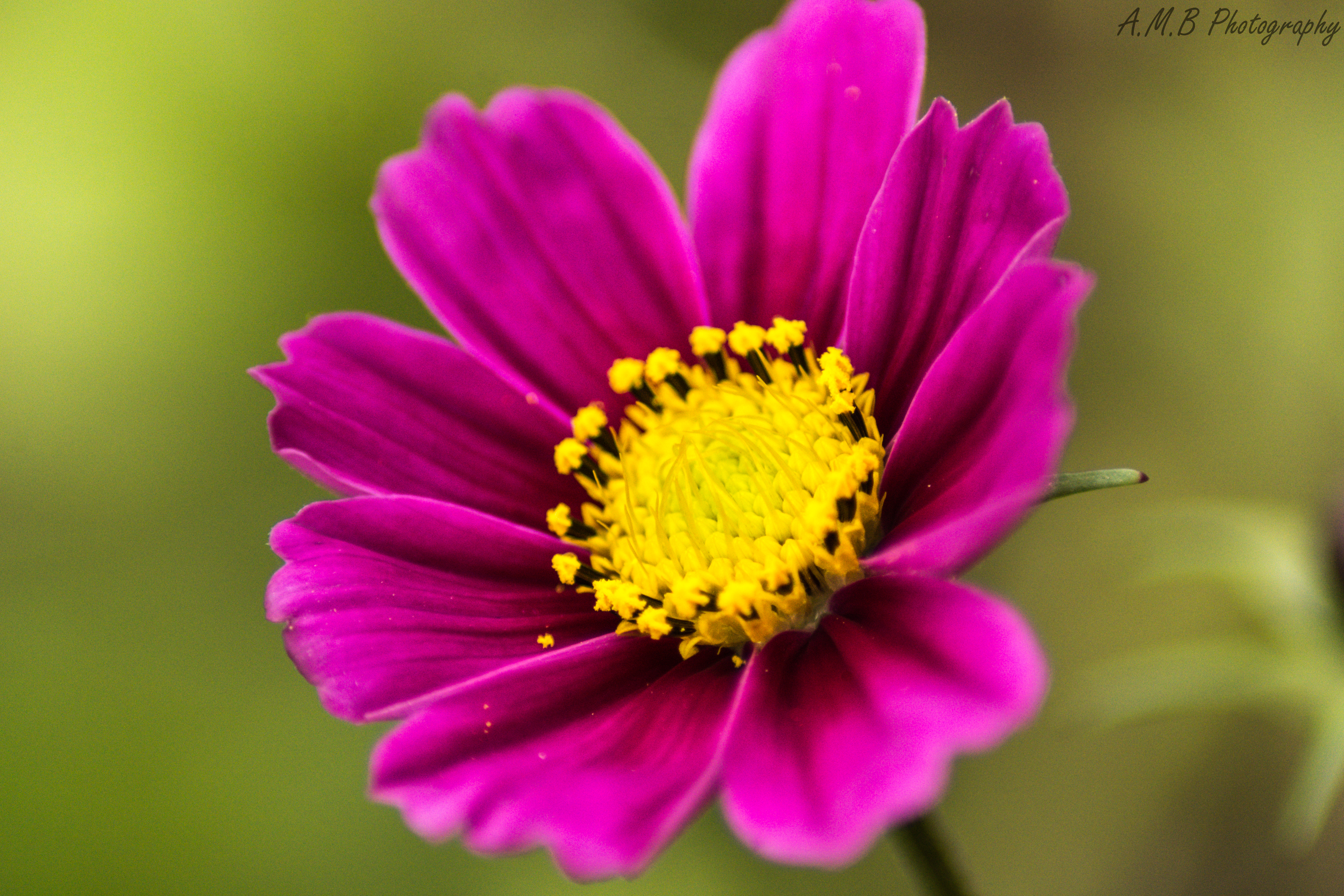 Fall Cosmos Blooms