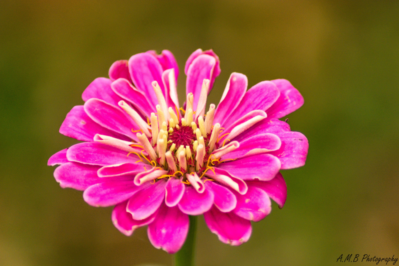 Fall Zinnia Bloom