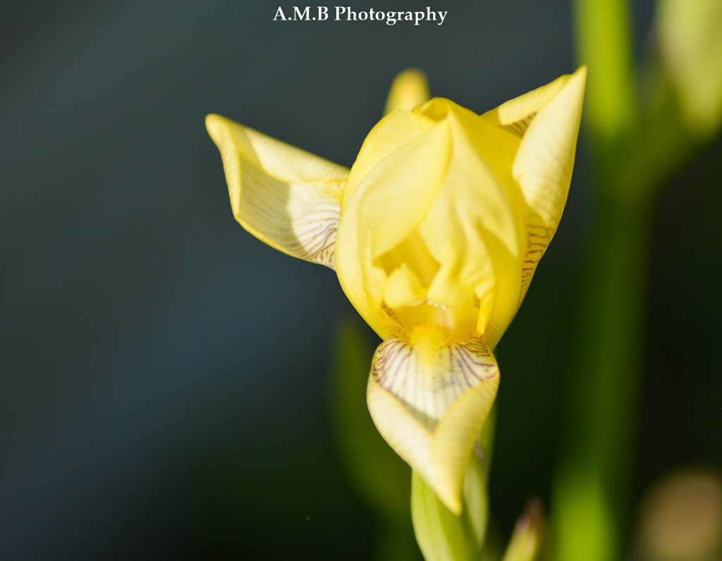 Beautiful yellow bearded irises grow throughout my home garden. Here is one that is freshly blooming. I find it interesting how it looks triangular and almost like a star.