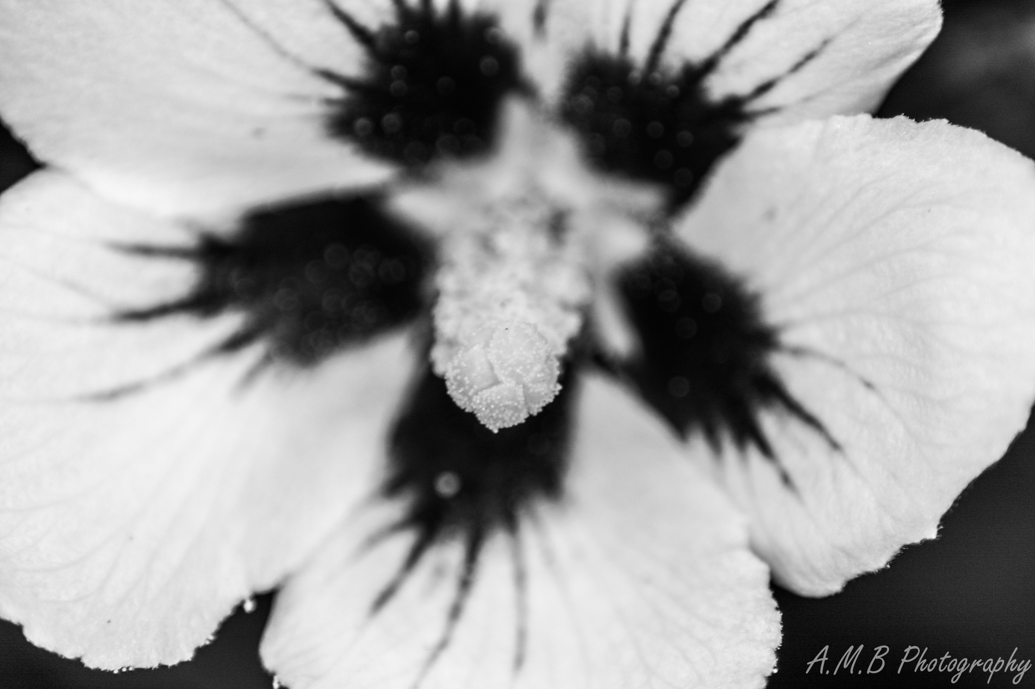 Hibiscus Bloom in Black and White