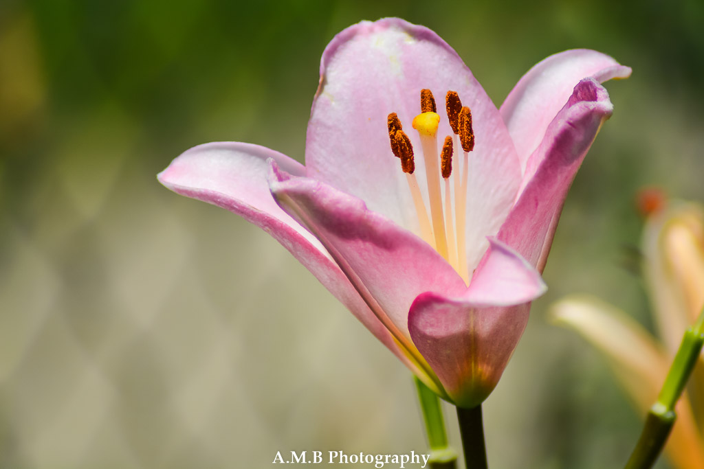I love the varieties of lilies growing in our home garden in Peoria, Illinois. So many lovely colors. Captured the Summer of 2017.