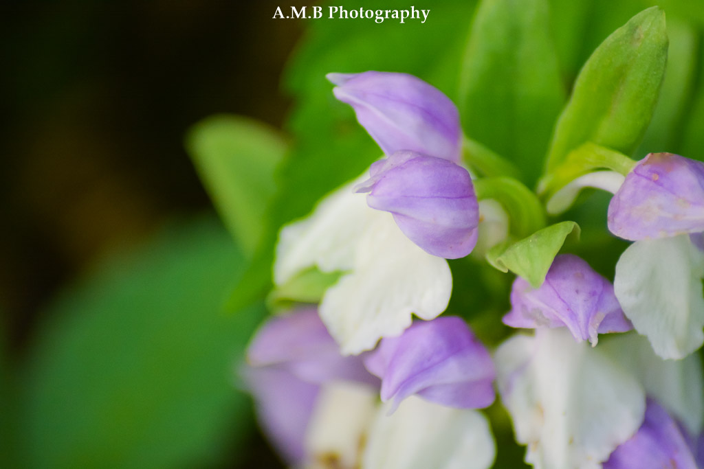 Captured in mid-May on a hike at a local state park, this tiny flower was hidden in the undergrowth. It was a little difficult to get a good shot, but it happened. :)