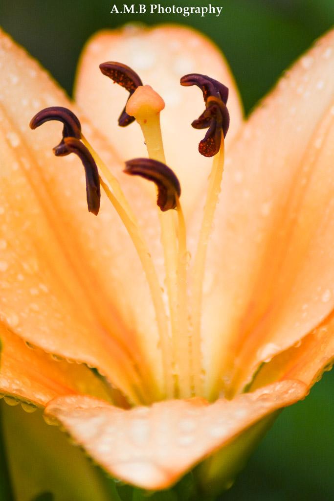Macro Lily II