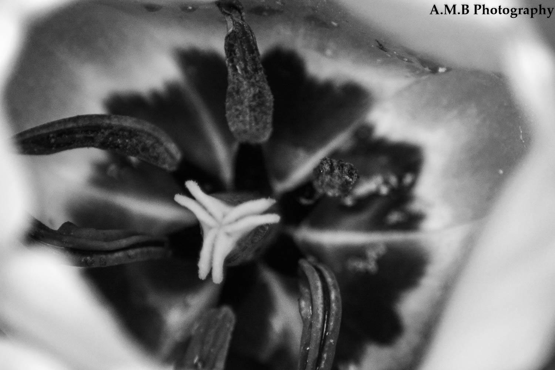 Macro Tulip II
