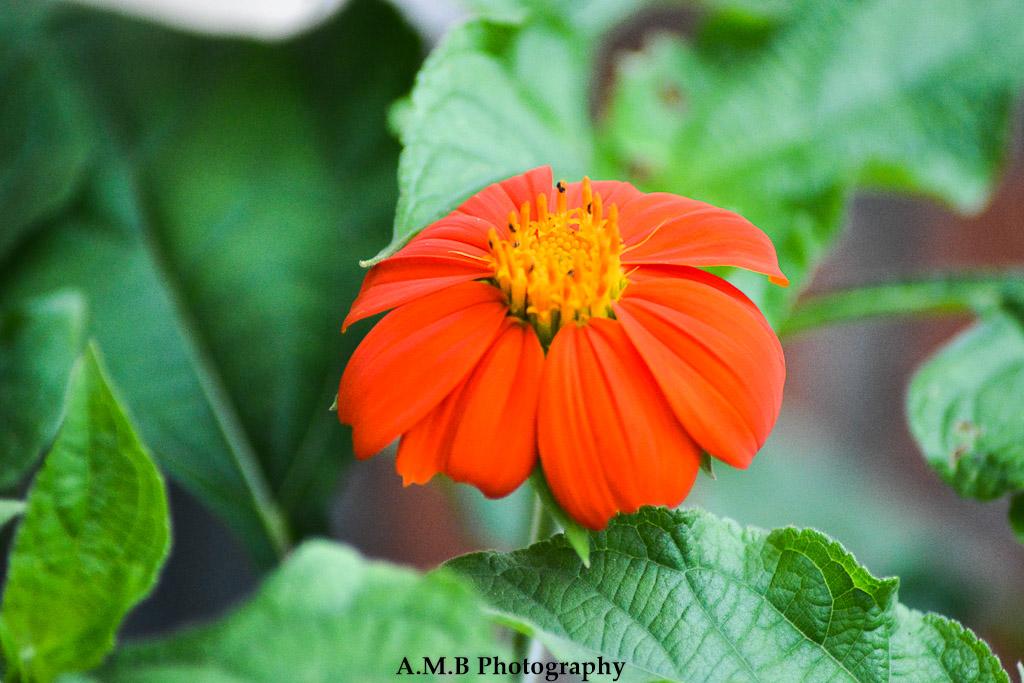 Mexican Sunflower III