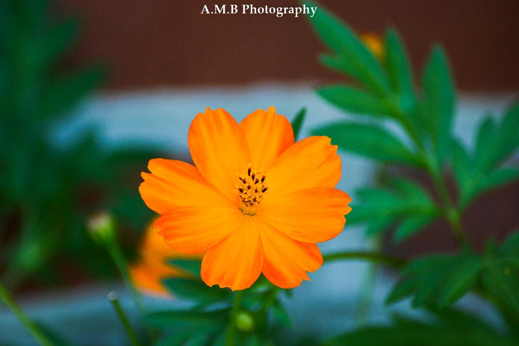Orange Cosmos II