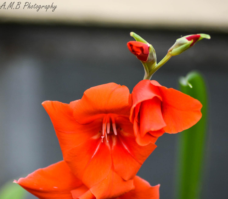 Orange Gladiolus II