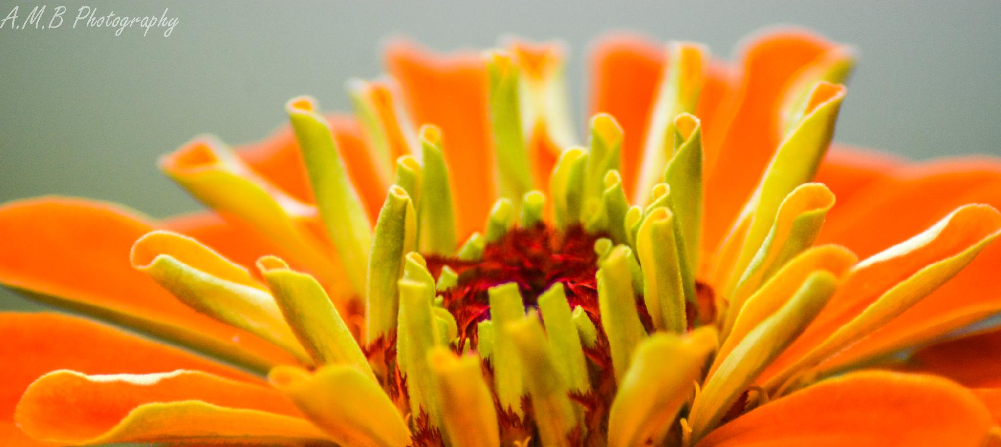 Orange Zinnia II
