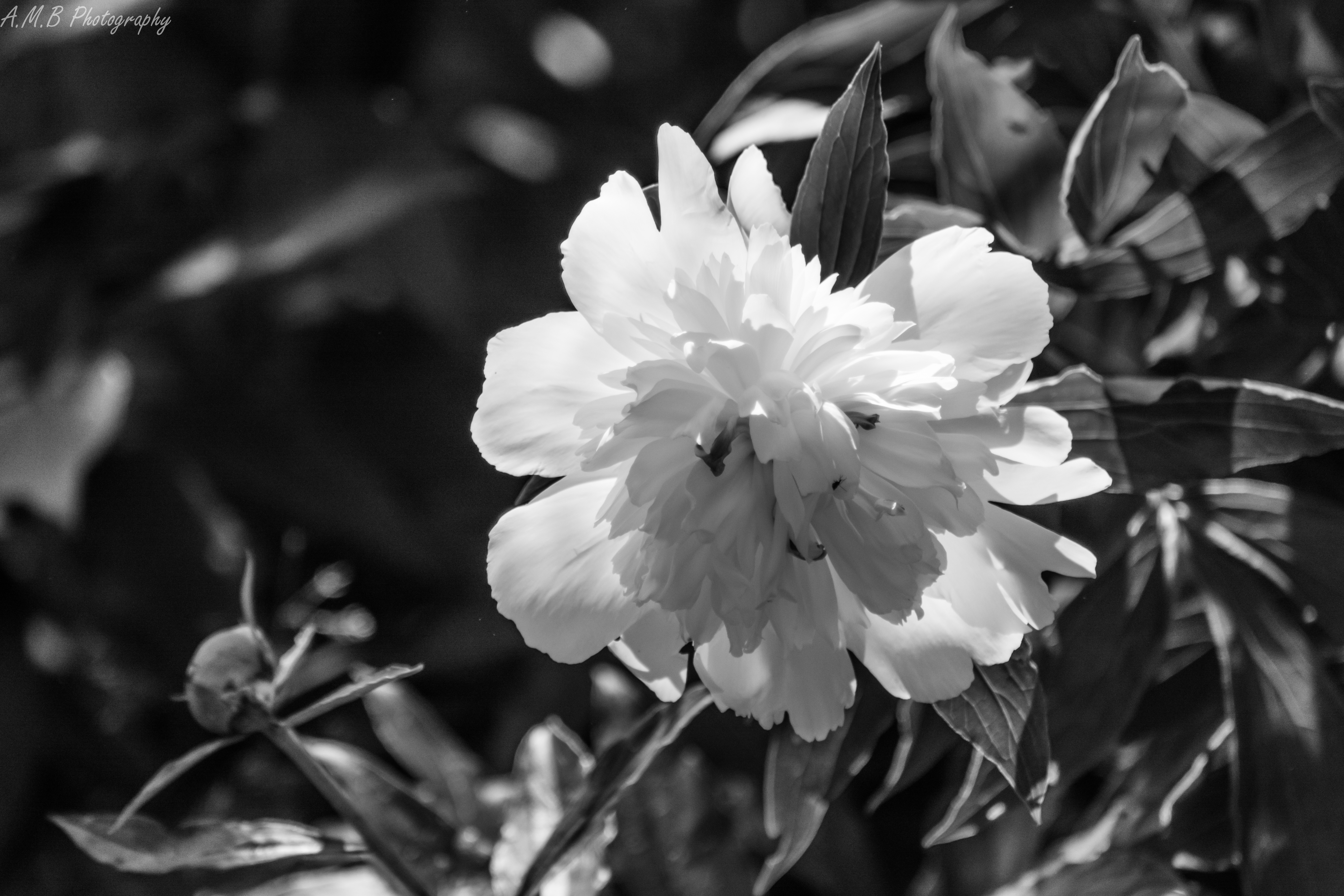Peony Flower in Black and White