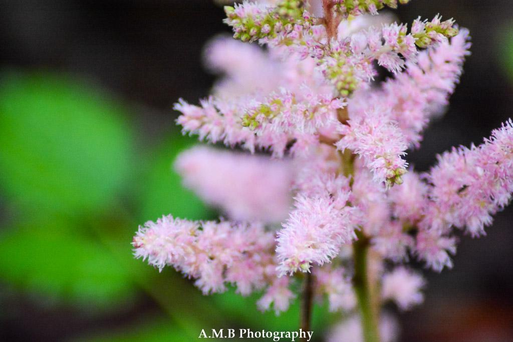 Pink Astilbe