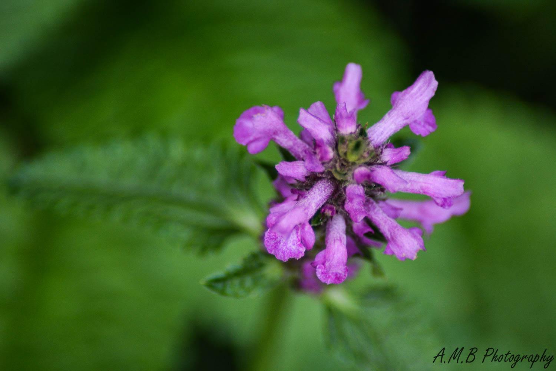 Purple Bee Balm