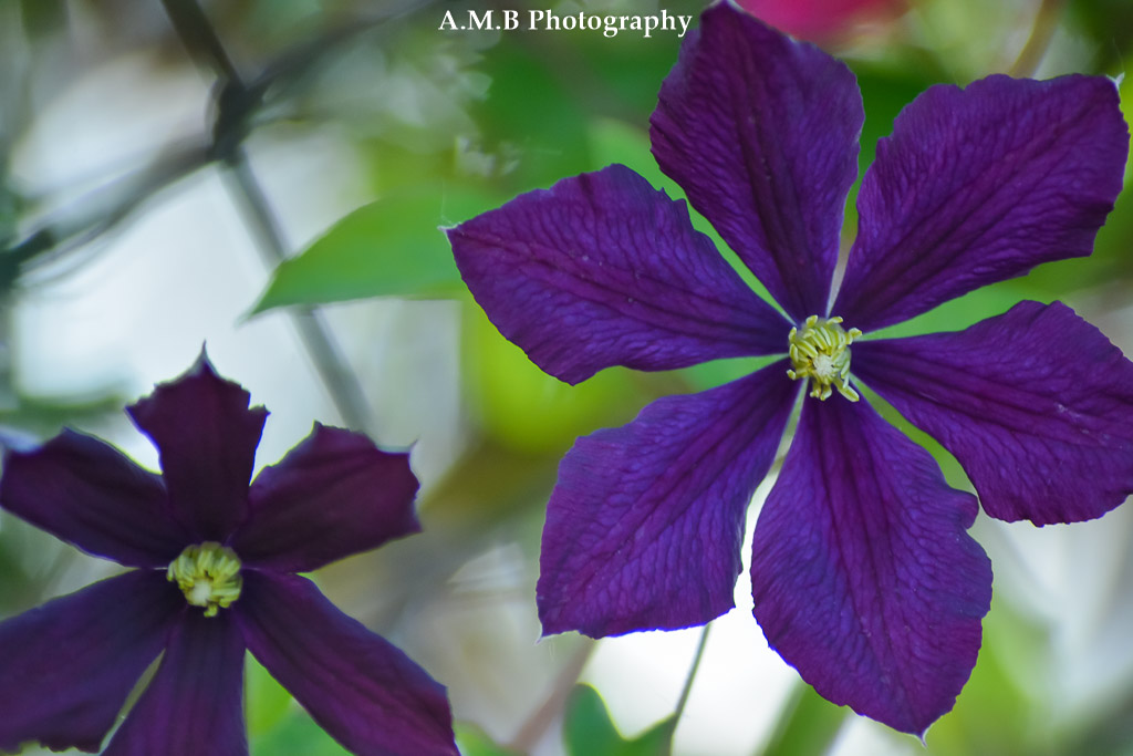 I just love these purple clematis planted next a climbing rose bush along our chain link fence. Captured in the Spring of 2017.