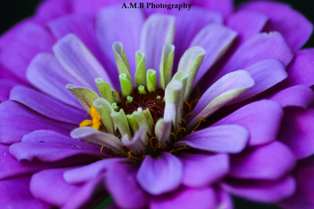 Purple Zinnia II