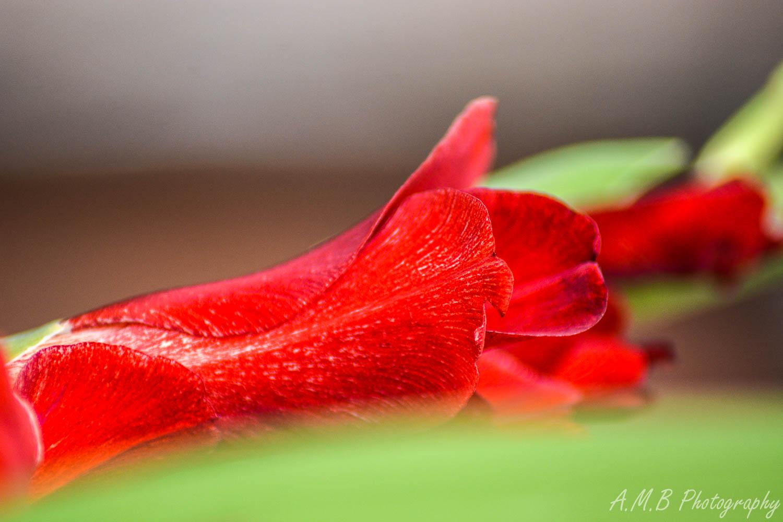 Red Gladiolus II