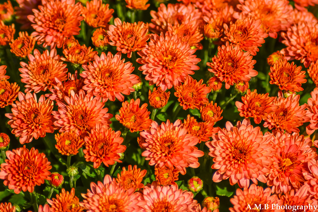 A macro shot of red mums I recently planted along the sidewalk leading to our front door. Captured in the late summer of 2017.