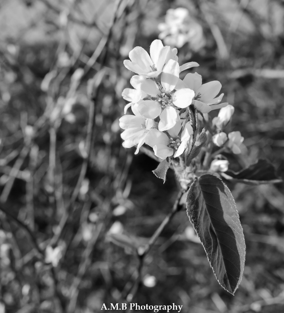 These tiny flowers are from the serviceberry bush in my front yard. Only around for a short time, it was great luck of mine to get this shot.