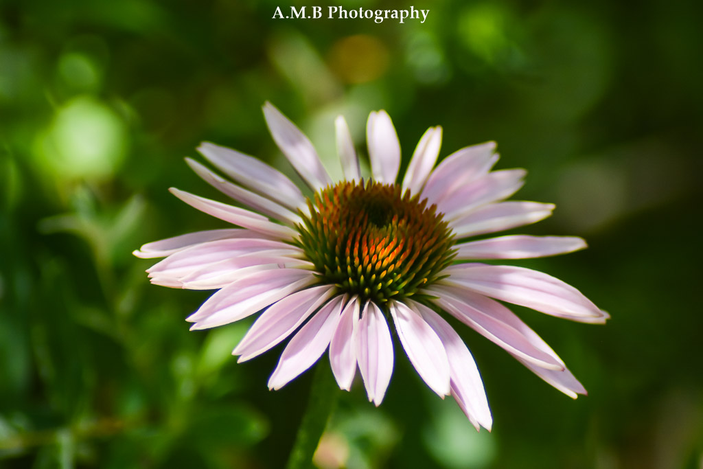 An echinacea, or Purple Coneflower in our shade garden in Peoria, Illinois. Captured the Summer of 2017.
