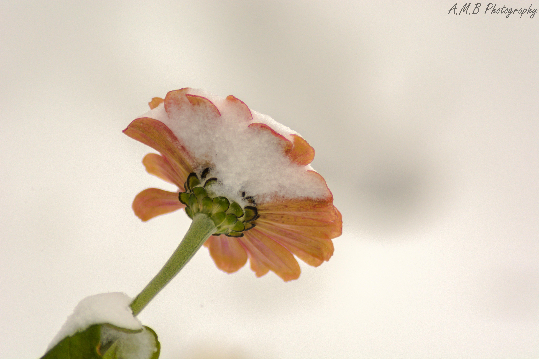 Snow Covered Zinnia III