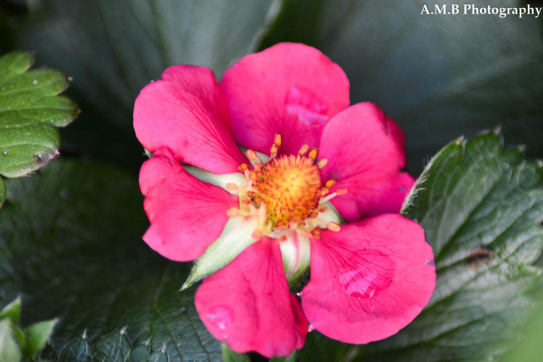 Strawberry Bloom