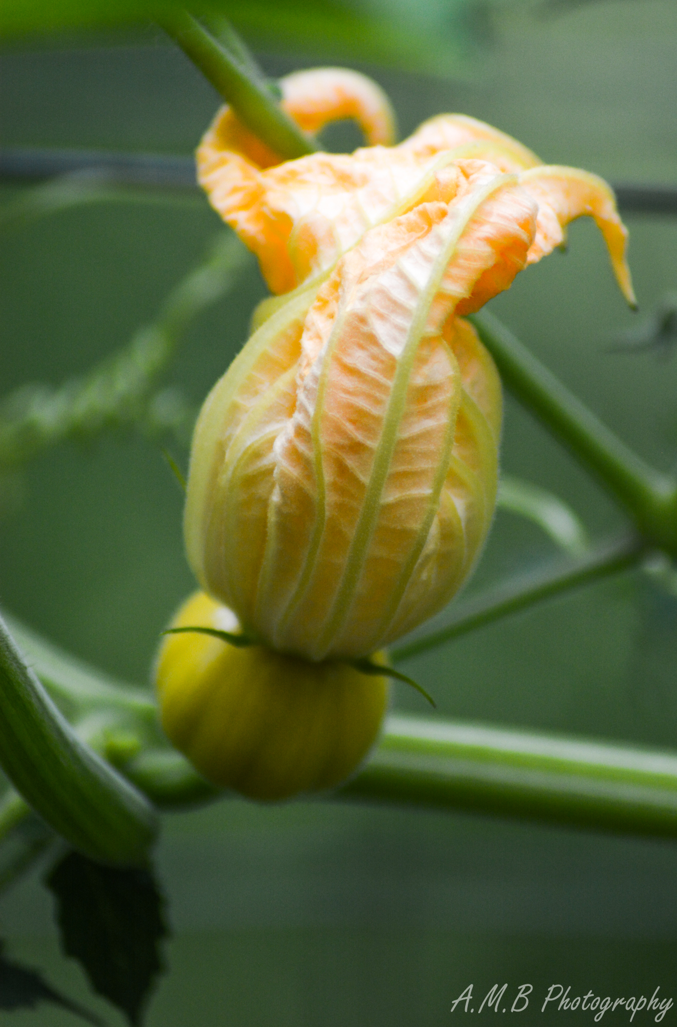 Tiny Pumpkin Bloom