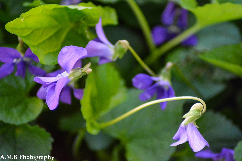 Violets IX