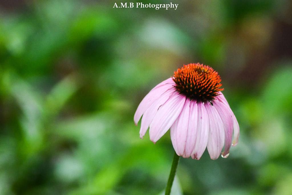 Wet Conflower