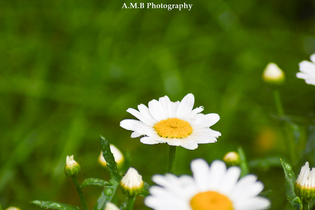 Wet Daisy Blooms
