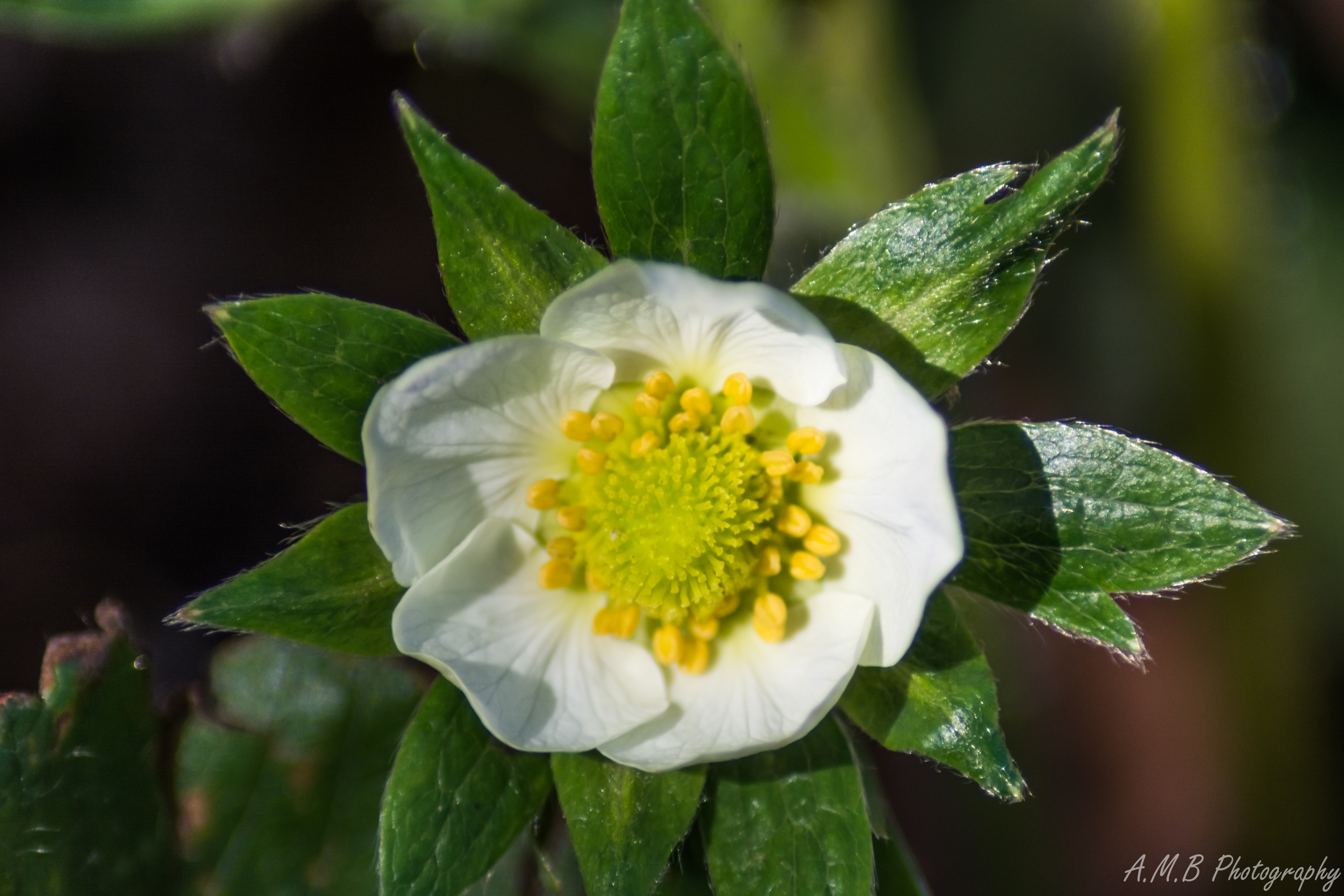White Stawberry Bloom