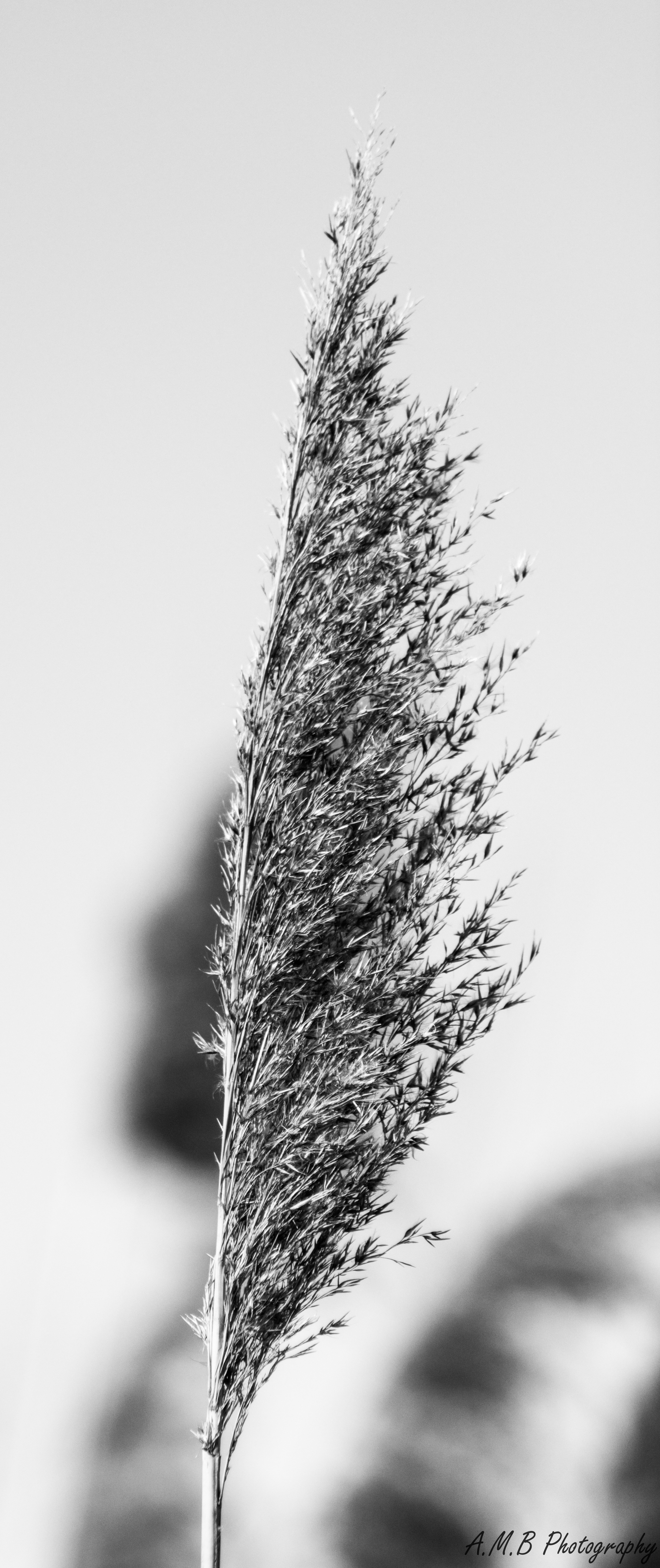 Winter Wild Reed in Black and White