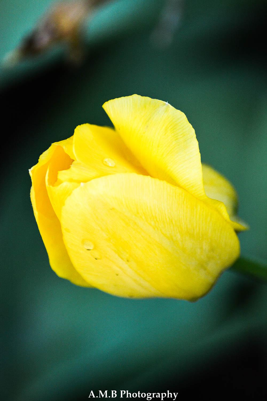 Yellow Tulip IV