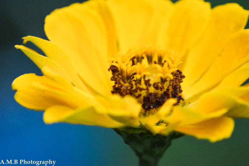 Zinnia Bloom III