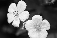 2 White Wildflowers II