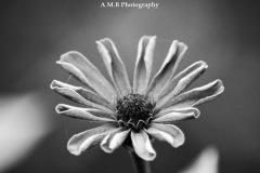 Black & White Zinnia