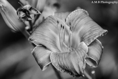 Black and White Daylilies II
