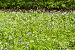 Blue Woodland Wildflowers