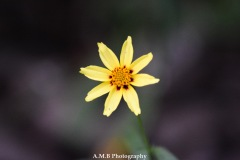 Coreopsis Bloom
