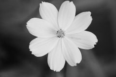Cosmos in Black & White