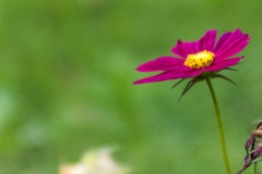 Cosmos in the Garden IV