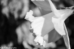 Daffodil Bloom II