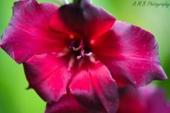 Dark Maroon Gladiolus II