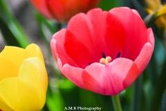 Exquisite Tulips